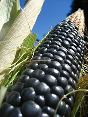 Hopi Blue Corn - Corn Blue Hopi Ornamental Great Heirloom Vegetable 15 Seeds