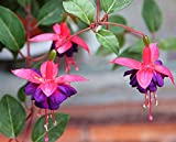 Fuchsia Seeds 10+ Perennial Flower Seeds Potted Flowers DIY Planting Bell Flower, DIY Planting, Bell Flower, Lantern Begonia, Fuchsia Lantern Seeds (Blue)