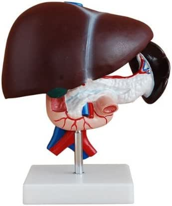 Human Life Size Liver, Pancreas and Duodenum Simulation Model Medical Anatomy Type:YR-H-XC-311