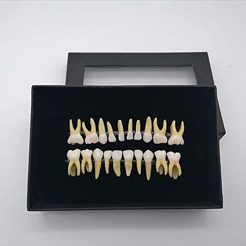Dental Tweekleurige melktanden Model Open Pulp Geïsoleerde Tooth Model for Study Teach Teeth Model Demonstratie Tooth Model for Patient Education