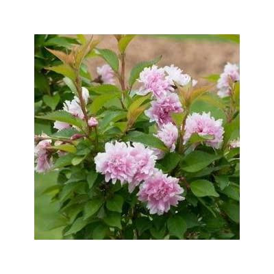 Prunus-Zuzu-PWCC - QT Pot (Shrub) : Garden & Outdoor