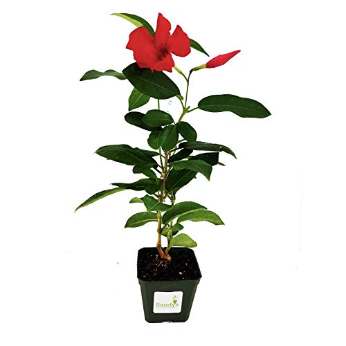 8' Red Bird Lovers Seed - Sandys Nursery Online Mandevilla Giant Crimson 4 inch pot