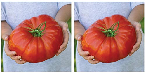 Burpee Exclusive 'Steakhouse' Hybrid | Large Red Beefsteak Slicing 1-3lbs Tomato | 25 Seeds (Тwо Расk)