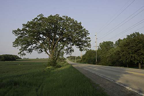 Bur Oak Tree Quercus macrocarpa Live Bare Root Plant Garden tkdeb