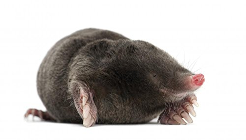 European Mole Wall Decal - 30 Inches W x 17 Inches H - Peel and Stick Removable Graphic