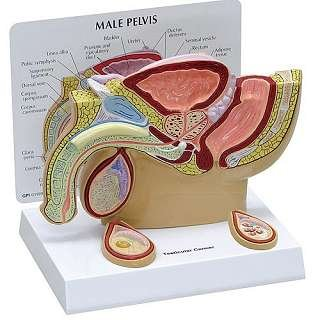 Male Pelvis with Testicular Pathology Model