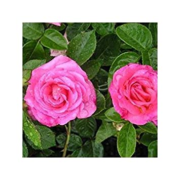 ROSE ELIZABETH Superb Birthday Gift Personalised Plant Gifts For MumMom