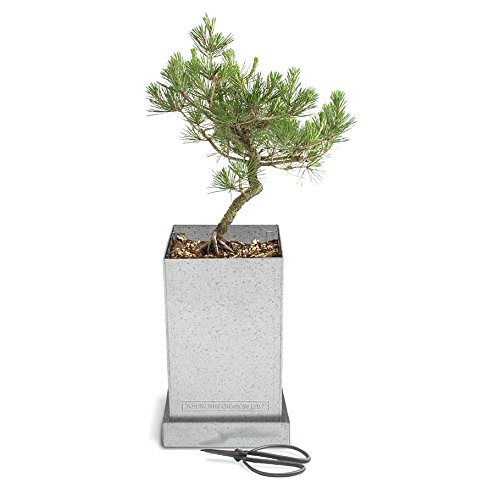 - Potting Shed Creations Bonsai Box Specimen Tree, in Japanese Black Pine