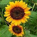 Grey Stripe Sunflower Flower Seeds! - 50 Heirloom Seeds! - SPRING SALE - (Isla's Garden Seeds) - 90% Germination! - Non GMO! - Total Quality!