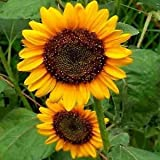 Grey Stripe Mammoth Sunflower Flower Seeds, 50+ Premium Heirloom Seeds, ON SALE!