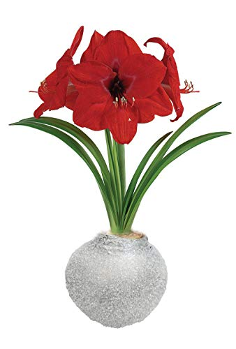 Silver Ice Glitter Waxed Amaryllis Bulb – Blooms Without Soil/Water – Perennial