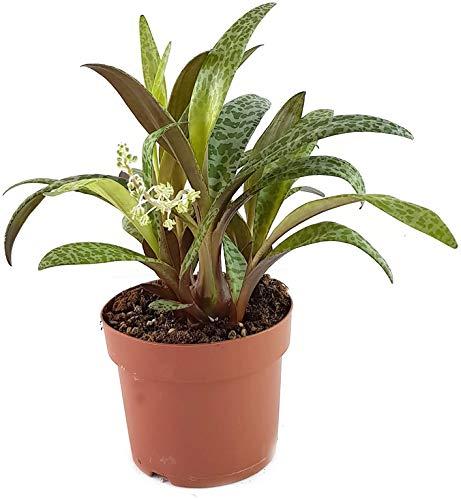 Scilla violacea - eine wundervolle Zwiebelpflanze aus Südafrika für das sonnige bis halbschattige Fensterbrett - das Hyazinthengewächs ist ebenso als Ledebouria socialis bekannt - pflegeleichte Zimmerpflanze unbekannt