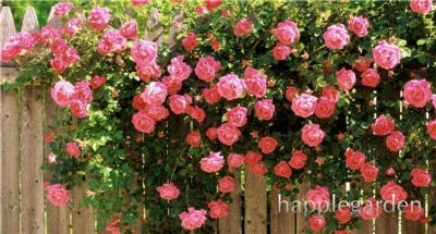 Kasuki Top Selling Bonsai Climbing Rose Bonsai for Home Garden Vampire Rose Flowers Bonsai Backyard Jardin Plants 200pcs - (Color: 1)