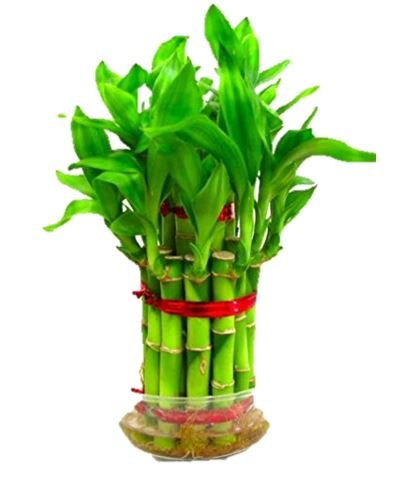 Srushti Traders Bamboo Seeds For Planting Indoor Bonsai Suitable Plant Amazon In Garden Outdoors