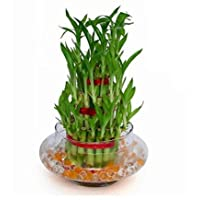 The Bonsai Plants - 3 Layer Lucky Bamboo Plant with Pot for Home - Real Live Bamboo Plant Indoors Outdoors with Free Glass Pot for Gift/Gifting Purpose/Options - Low Maintenance - Perfect Gift - For Home or Office