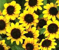 Zinnia Creeping Sanvitalia Procumbens - 15,000 Bulk Seeds by rifkaseeds