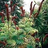 IDEA HIGH Melianthus Major