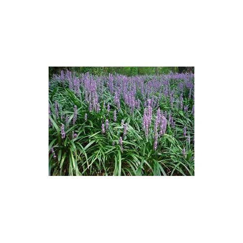Wholesale (1 Gallon) Liriope Muscari 'Big Blue'' Monkey Grass/lilyturf (Ground Cover) the Most Well Known Variety of Liriope, Deep Green Foliage, Lilac Flower Spikes. Moderate Spreader for cheap
