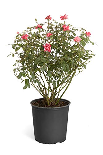 Double Knock Out Rose Bush- Large, Developed Plants for Instant Blooms- Not Tiny Quarts, Seedlings, or Seeds. Enjoy Blooms The First Year with These Large Shrubs with Double-Red Blooms - ()