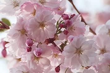 Flowering Cherryprunus Accolade 4 5ft Most Reliable And Prettiest