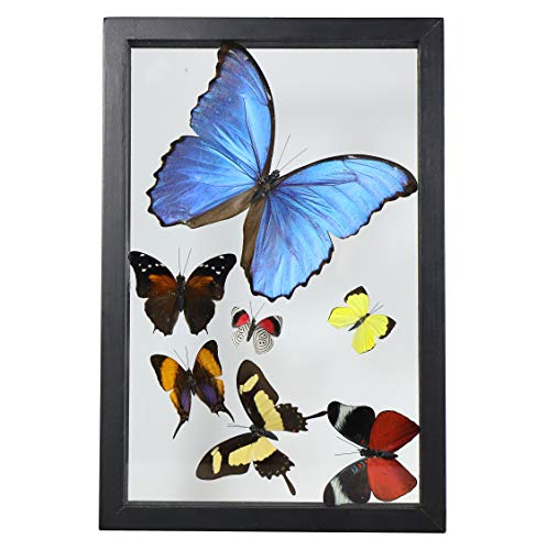 Beverly Oaks Amazing Blue Morpho Butterfly with Additional 6 Amazing Assorted Butterflies, Professionally Mounted Certificate of Authenticity
