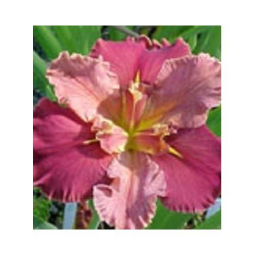 "Hot ""Peaches in Wine"" Iris live plant hot sale"
