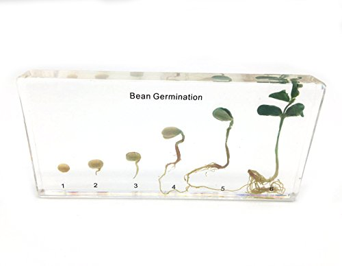 Bean Germination in Acrylic Block Lifecyle of Bean Biology Science Classroom Specimens (Bean Germination)