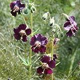 Geranium phaeum/Black Widow Or Dusky Cranesbill/Seeds