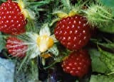 1 Plant Wineberry. Rubus phoenicolasius. Live Plants, Nice Roots Wrapped in Wet Chips