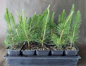 Japanese Black Pine 'Mikawa' large 18