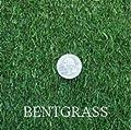 Penncross Creeping BentGrass Seeds