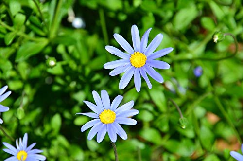 Home Comforts Blooming Plant Flower Blossom Blue Felicia Daisy Vivid Imagery Laminated Poster Print 24 x 36