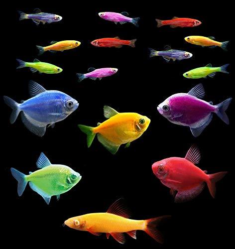 GloFish Live Fish Collections (20G Community)
