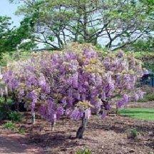 Wisteria 'Amethyst Falls' - Lavender Wisteria Vine