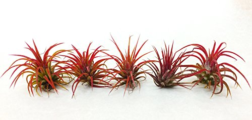 Air Plant Fuego 5 Pack Assortment | 5 Ionantha Fuego Tillandsia Air Plants | Nautical Crush Trading TM