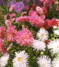 50 OSTRICH PLUME ASTER Mixed Color Feather Spider Michaelmas Daisy Callistephus Chinensis Flower Seeds *Comb ()