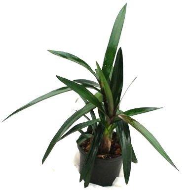 1 blühfähige Orchidee der Sorte: Epidendrum floribundum, 12cm Topf