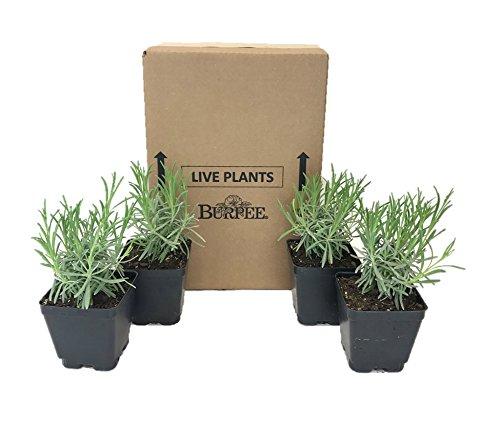 Burpee Perennial Lavender