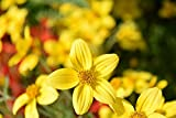 Home Comforts Gold Marie Flowers Bidens Ferulifolia Goldweizahn Vivid Imagery Laminated Poster Print 11 x 17