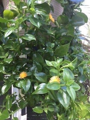 (1 Sun Jewel/Yellow Sun Jewel/Aptenia Cordifolia Haekeliana Trailing Succulent)