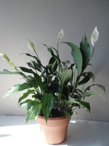 Potted Peace Lily (Big Peace Lily Live Plant Bouquet in a Six Inch Pot with Easy Care Guide and Organic Plant Food)