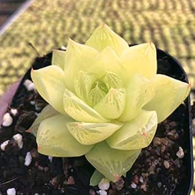Succulent Live Plant - Haworthia cooperi : Garden & Outdoor