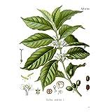 Coffee Plant Seeds ★ COFFEE ARABICA ★ Exotic Houseplant ★ 25+ Seeds