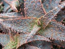 (ALOE HYBRID cv ORANGE MARMALADE exotic rare succulent bonsai plant 4