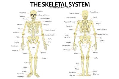 The skeletal system anterior and posterior view anatomical chart the skeletal system anterior and posterior view anatomical chart scientific poster print 13x19 amazon home kitchen ccuart Image collections