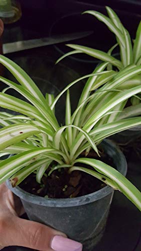 Stripe Spider Plants Well Rooted Airplane Plant Air Cleaner Chlorophytum GND043