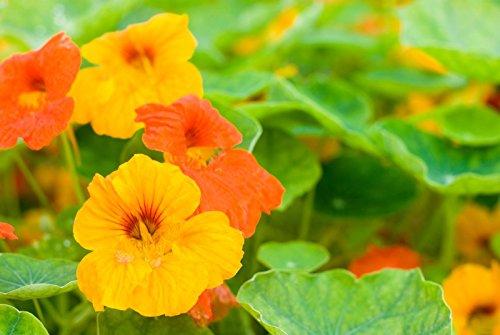 100 Dwarf Jewel Mix Nasturtium Seeds ~Culinary Flower Beautiful Edible - Nasturtium Dwarf Jewel