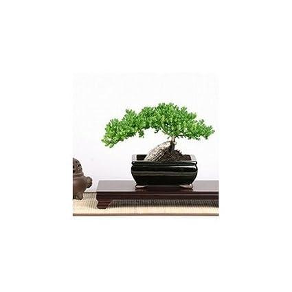 Amazon Com Skg Inc S Medium Trained Juniper Bonsai Karate Kid Bonsai Tree Bonsai Plants Grocery Gourmet Food
