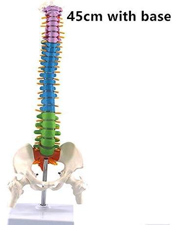 Amazon.es: Esqueletos y modelos anatómicos: Salud y cuidado ...