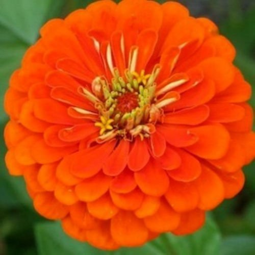 Orange Zinnia Flower (Zinnia Queen Orange annuals Flowers Seeds from Ukraine)